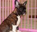 Frenchton Puppies For Sale in Georgia, GA