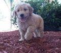 Golden Doodle Puppies For Sale in Georgia, GA