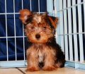 Yorkie/ Yorkshire Terrier Puppies For Sale in Georgia, GA