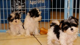 Morkie Puppies For Sale (3)