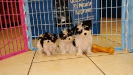 Morkie Puppies For Sale (2)