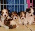 Morkie Puppies For Sale in Georgia, GA