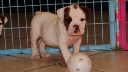 Olde English Bulldog Puppy For Sale