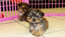 Yorkie Tzu Puppies For Sale (3)