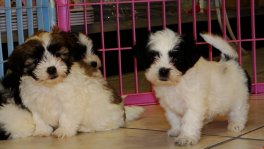 Malti Tzu Puppies For Sale (5)