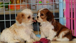 Cavachon Puppy For Sale (2)