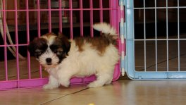 Malti Tzu Puppies For Sale (6)