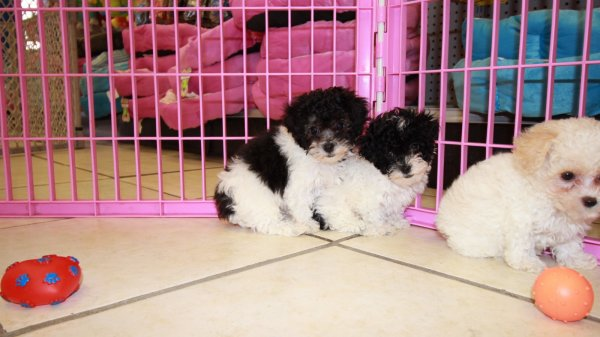 Teacup poodle breeders georgia