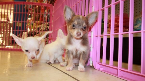 Chihuahua Puppies For Sale in Georgia - Puppies For Sale Local Breeders