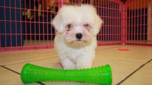 Maltichon Puppies For Sale In Georgia Puppies For Sale Local Breeders