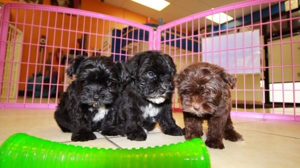 MaltiPoo Puppies For Sale In Georgia - Puppies For Sale