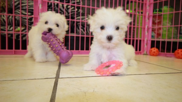 Teacup Maltese Puppies For Sale In Atlanta Georgia - Puppies