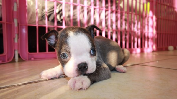 amazing rare colored blue boston terrier puppies for sale in