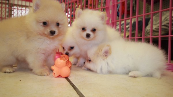 Pomeranian Puppies For Sale In Atlanta Georgia Puppies For Sale