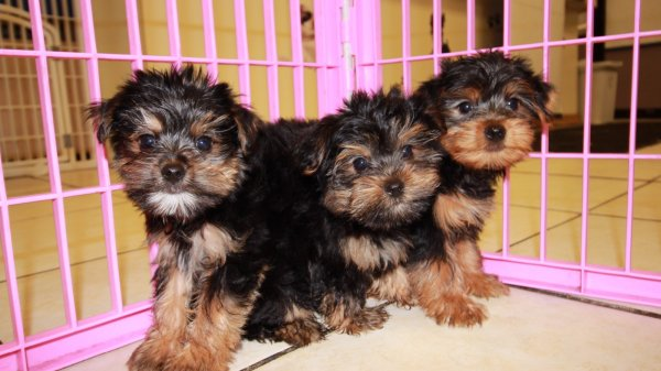 Yorkie Poo Puppies For Sale In Georgia Puppies For Sale Local Breeders