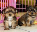 Yorkie Tzu Puppies For Sale (2)