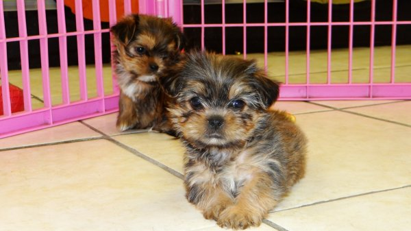 Stunning Teacup Yorkie Tzu Puppies For Sale in Atlanta, Georgia Designer Yorkshire Terrier