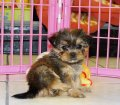 Yorkie Tzu Puppies For Sale (4)