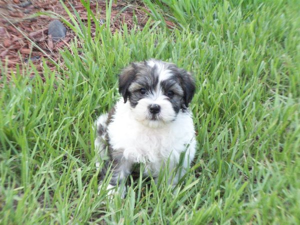Exceptional, Lhasa Apso Puppies For Sale In Georgia