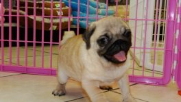 Pug puppies for sale Atlanta