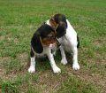 Beagle puppies for sale 004