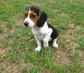 Beagle puppies for sale 015