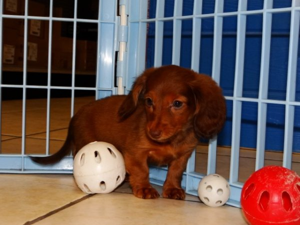 Darling, Miniature Dachshund Puppies For Sale Ga at