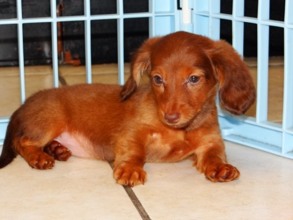 Darling, Miniature Dachshund Puppies For Sale Ga