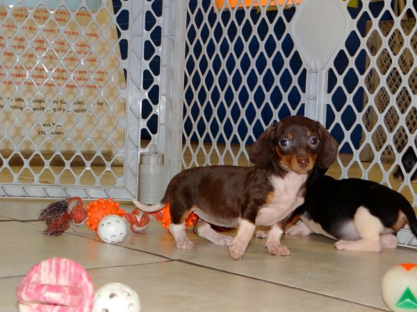 Precious Black Amp Tan Miniature Dachshund Puppies For Sale