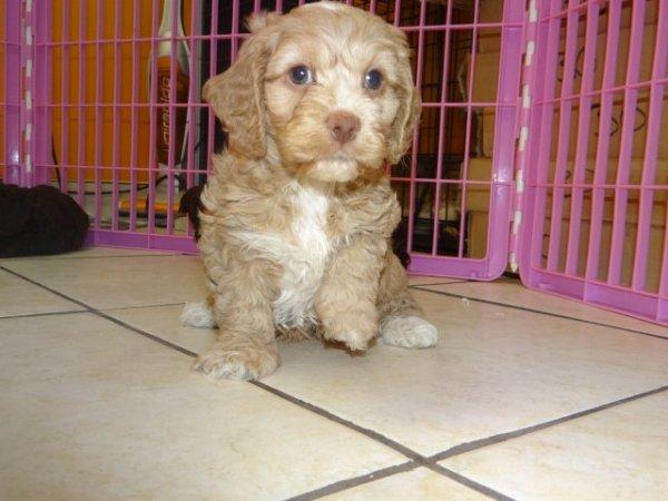 Snuggly Cockapoo Puppies For Sale In Atlanta Georgia Ga At Atlanta