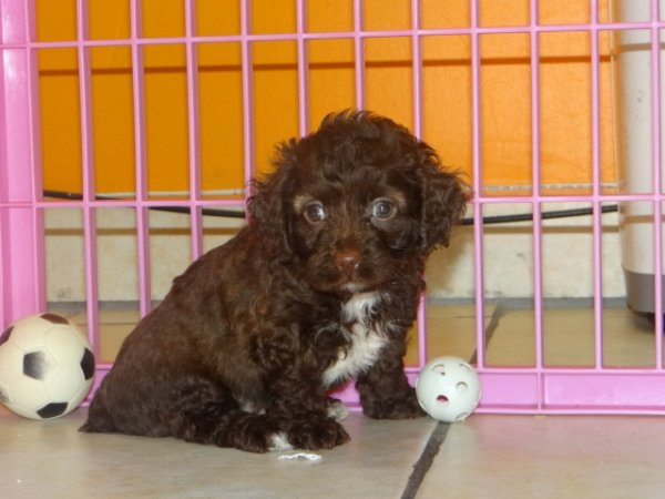 Cockapoo - Dog Breed Information - PetBreeds