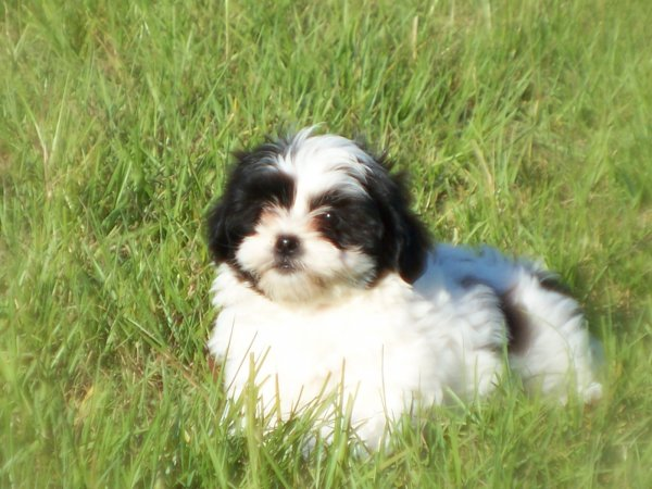 Beautiful White & Black, Lhasa Apso Puppies For Sale Ga