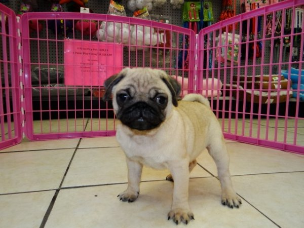 Gorgeous Fawn, Pug Puppies For Sale Near Atlanta, Ga at ...