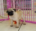 Pug Puppies for sale posted 7-22-13 DSC05827