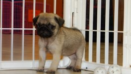 Pug puppies for sale GA