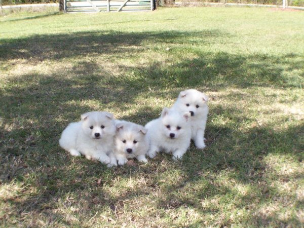 American Eskimo Dog For Sale In Columbus