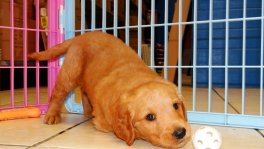 golden retriever puppies for sale in georgia golden retriever puppy breeders ga