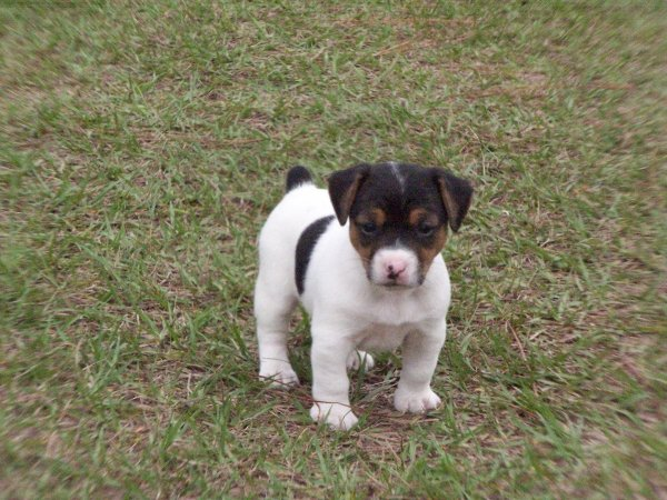 friendly black  u0026 white  jack russell terrier puppies for sale georgia at atlanta  columbus
