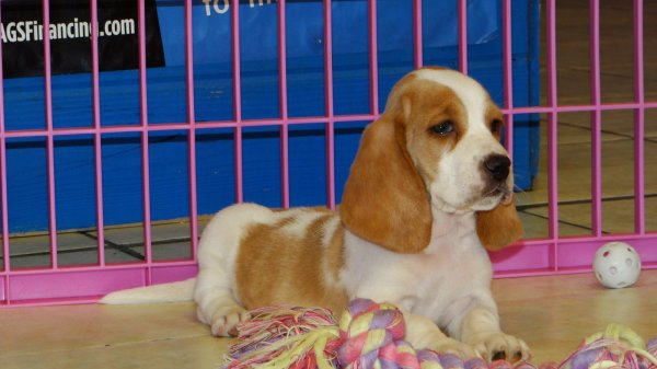 Precious Brown Amp White Basset Hound Puppies For Sale In Georgia At Atlanta Columbus Johns