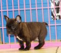 French Bulldog Puppies For Sale (11)