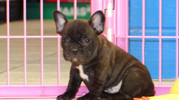 Charming, French Bulldog Puppies For Sale In Atlanta, Georgia