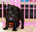 Pug Puppies For Sale (2)