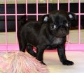 Pug Puppies For Sale (3)