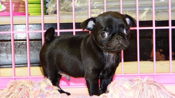 Huggable Black Pug Puppies For Sale In Georgia At