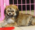 Pomapoo Puppies For Sale (4)