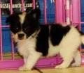 Pom Chi Puppies For Sale (3)