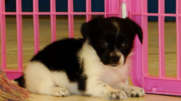 PomChi Puppies For Sale In Atlanta, Georgia , Ga