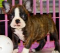 Frenchton Puppies For Sale (2)