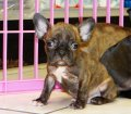 Frenchton Puppies For Sale (6)
