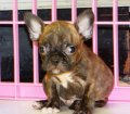 Frenchton Puppies For Sale (7)